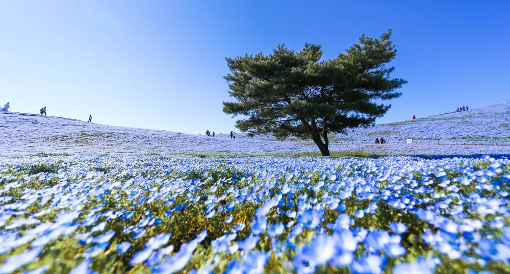 Nemophila flowers in Japan