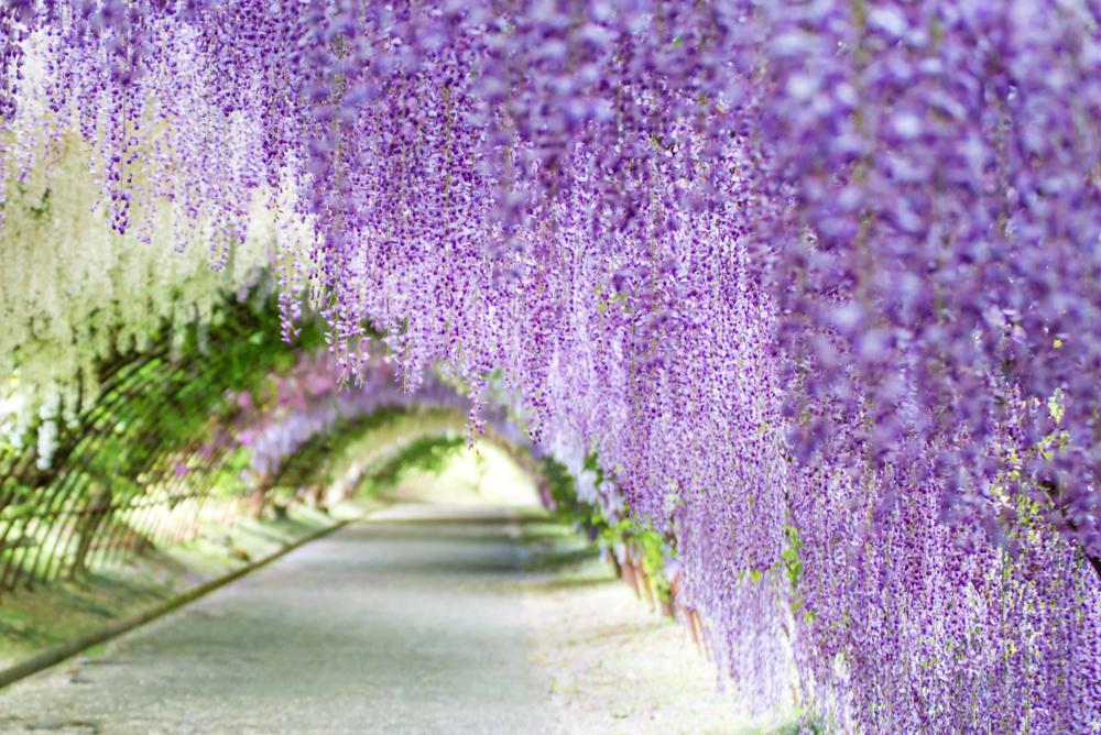 wisteria in bloom in Japan