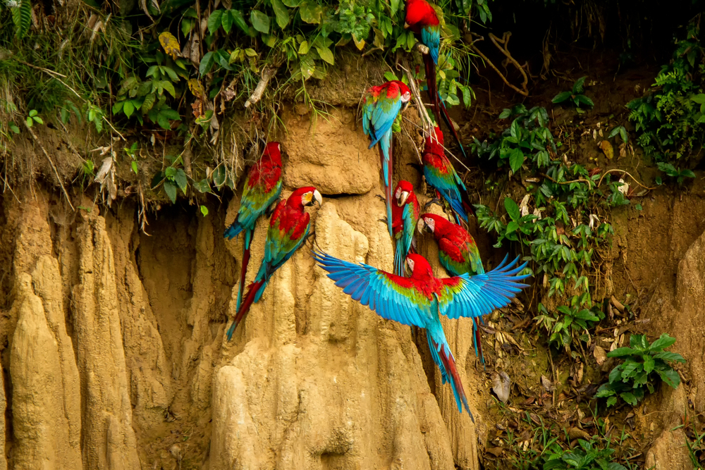 parrots at the clay lick Ecuador