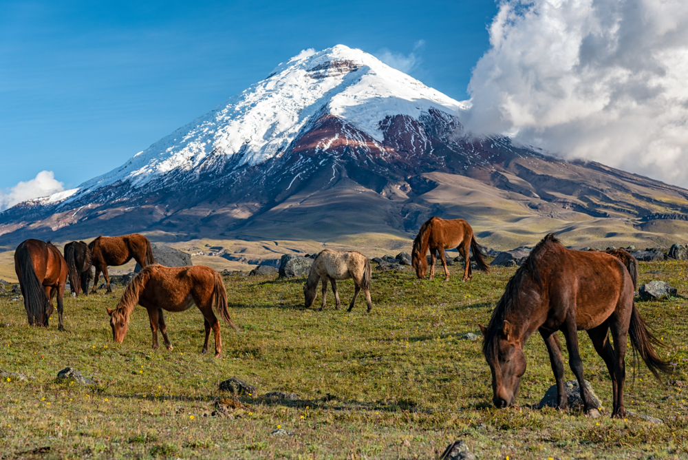 horses in Cotopaxi National Park