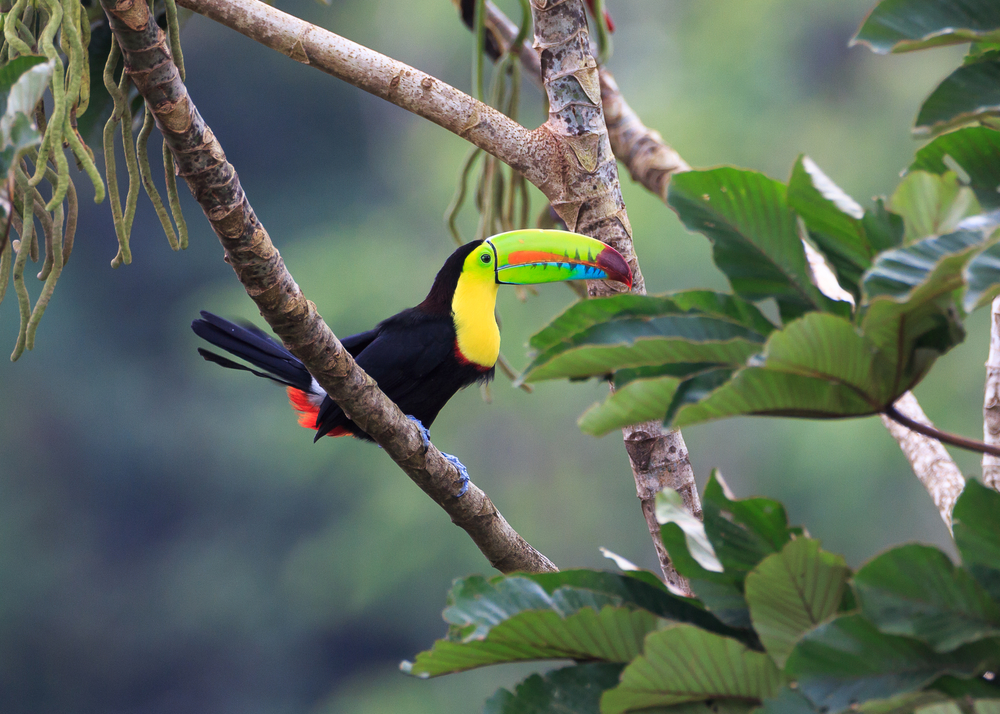 Tucan in the trees in Costa Rica