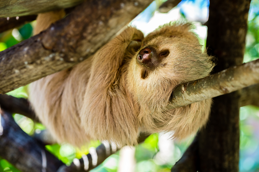 sloth climbing a tree in Costa Rica women only tour