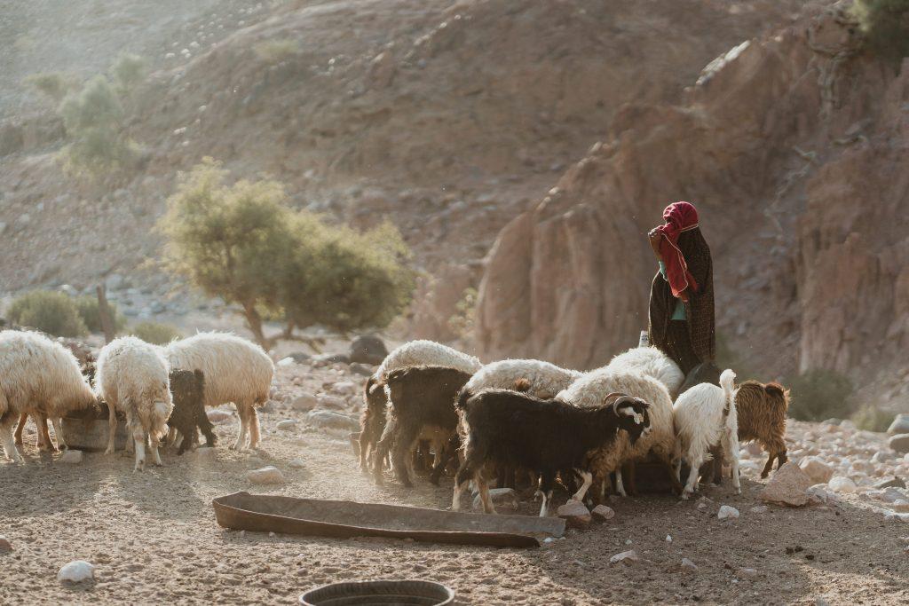 sheep herding in Jordan