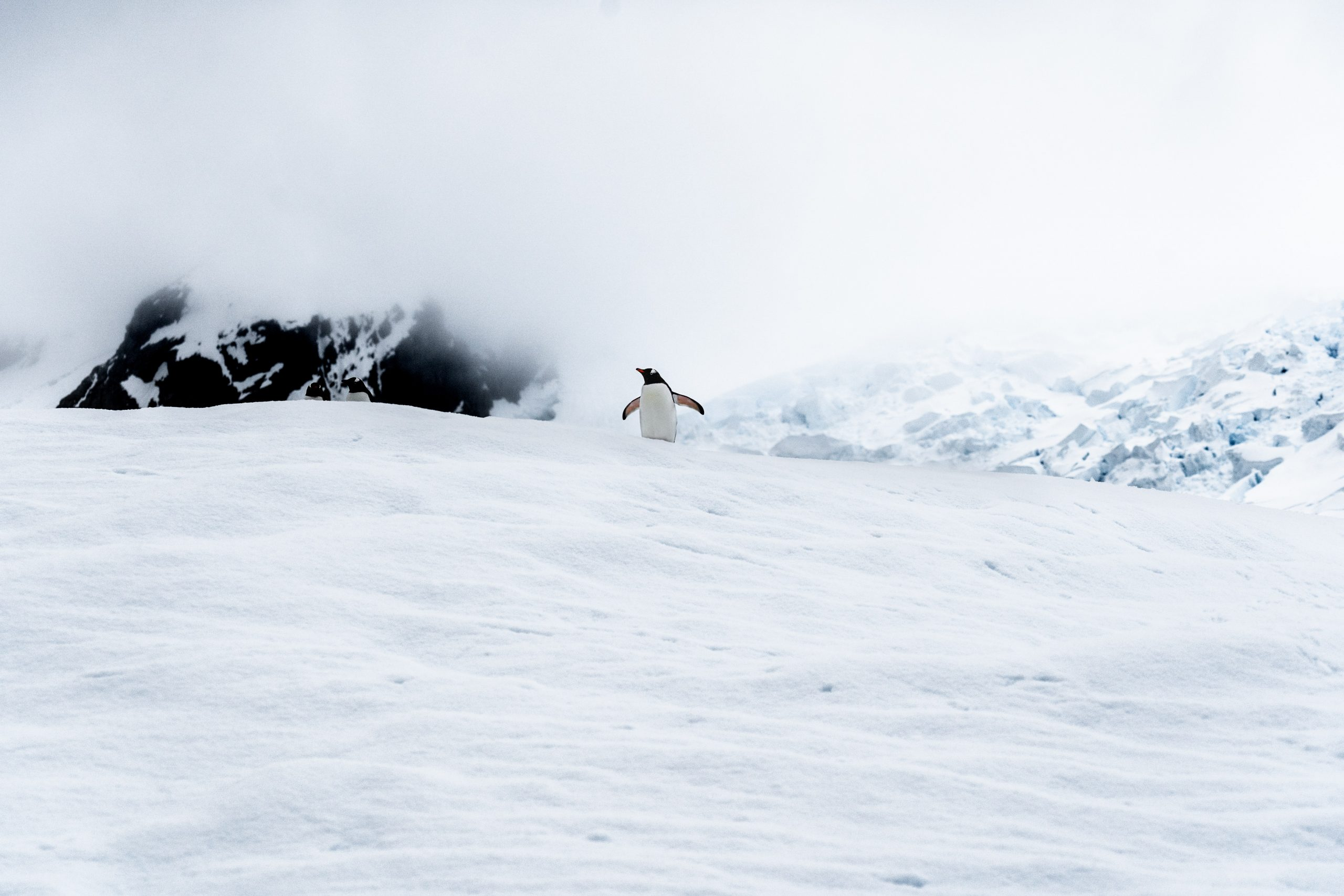 penguin in antarctcia