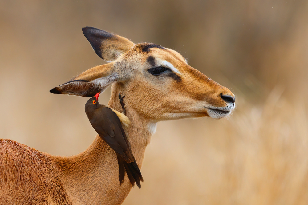 Southern Africa tour for women watching Impala