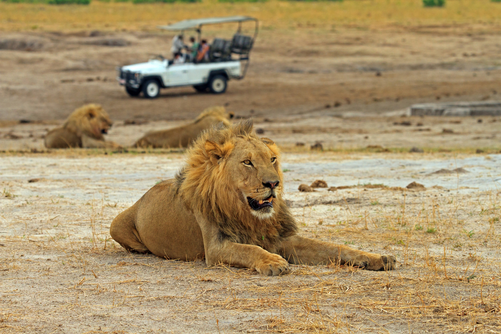 lions on women only safari