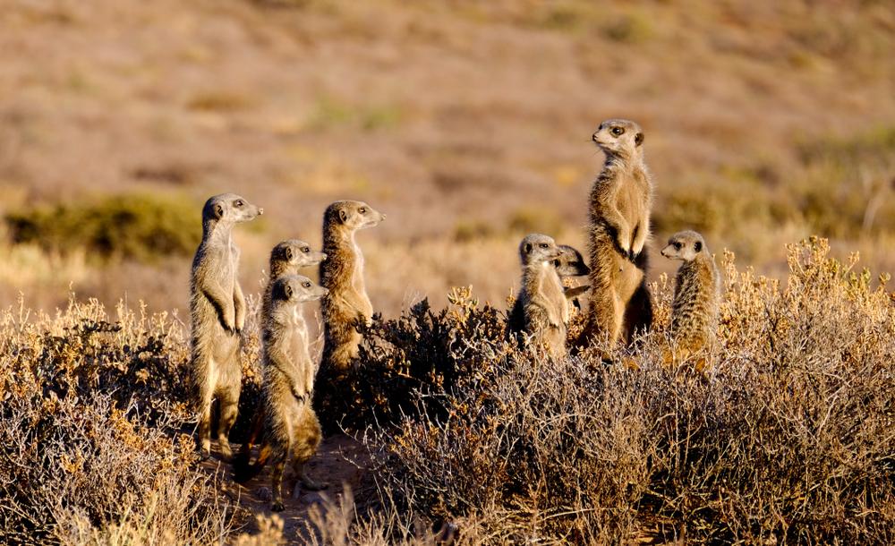 meerkats on the solo female traveler tour